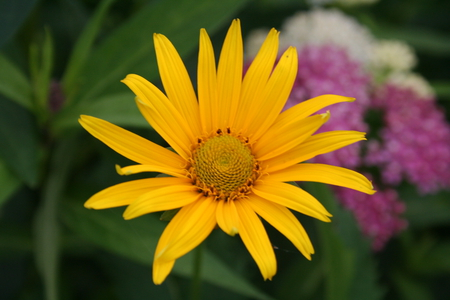 one sun - prince edward island, flower, beatiful, yellow flower