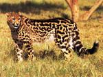 King Cheetah Dedicated to my Cheetah Friend Ramya