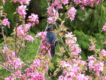 Stellar Jay in the blooms