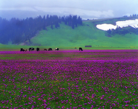 Lavender Countryside - countryside, lavender, mountains, grazing cattle