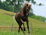Rocky Mountain Horse Running
