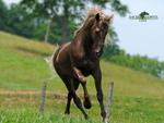 Rocky Mountain Horse Running