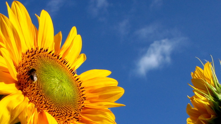 Sunflower - yellow, summer, bluesky, harvest