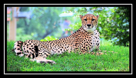 Speed and beauty - spotted, cheetah, speed, cat, brown black white, hunter