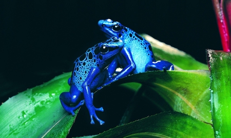 Frogs - frogs, beautiful, blue, animals