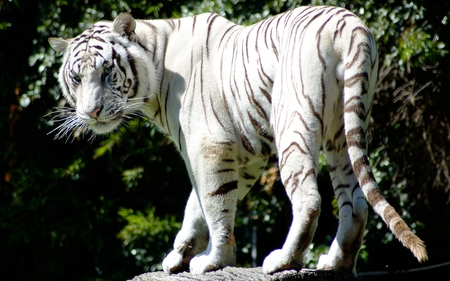 White Tiger - white, cats, white tiger, nature, tigers, forests, tiger, beautiful, animals