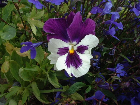 Purple Prize - garden, flowers, purple, blue