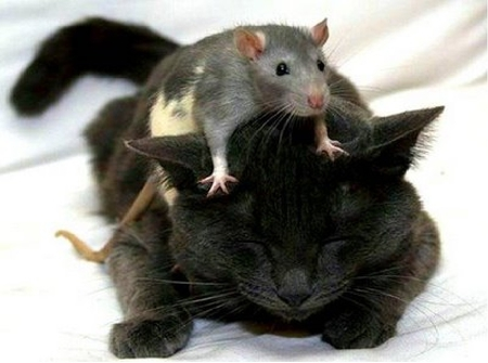 Cat and Rat - cuties, cat and rat, sleeping cat and rat, cute cat and rat
