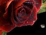 red rose with waterdrops
