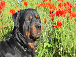 Rottweiler with poppies