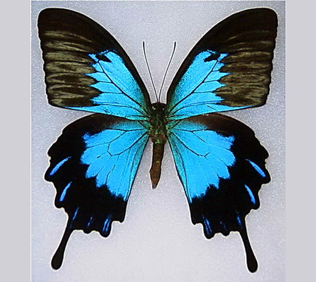 Australian beauty - butterfly, swallowtail, blue and black, australia, beauty