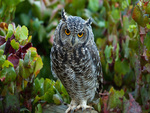 Owl-birds of pray-