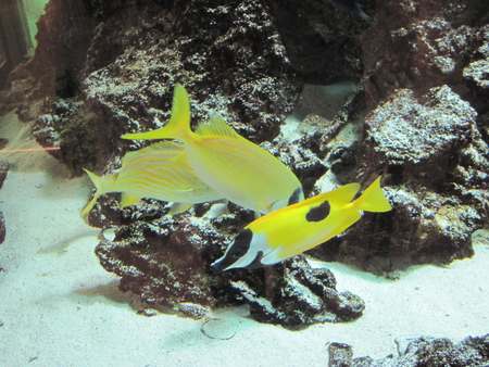Coral Reefs Aquarium 7 with yellow fish  - fish, coral reefs, aquarium, yellow, photography, sand, black, white