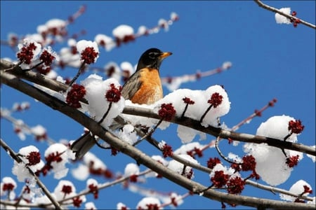 Late Winter Visitor - Birds & Animals Background ... |Spring Thaw Background Computer