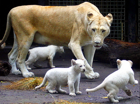 White trio - lioness, female, mother, cubs, play, trio, white