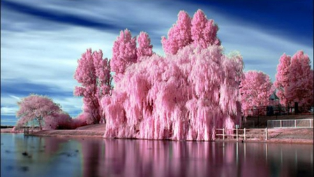 BUBBLE GUM BLOOMS - pink, other, trees, nature, lake