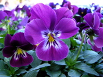 ♥ღ Lovely Purple Pansy ~ For The DREAMER GIRL ღ♥(LUIZA)