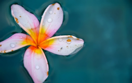 Floating Blossom - float, water, blossom, plumeria, island, tropical