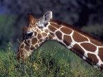 giraf eating