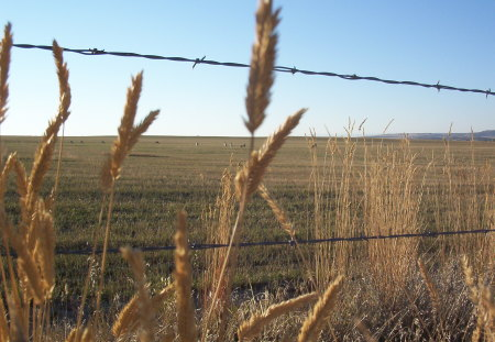 Autumn Fenceline - autumn, grain, golden, sky, field, barbed wire