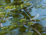 Azure Damsel Flies