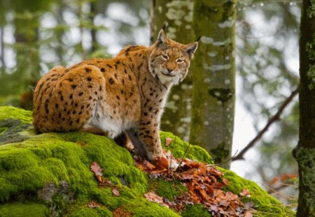 RAIN-FOREST CAT - forest, spotted, green, wildlife, cat, animal