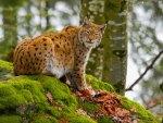 RAIN-FOREST CAT
