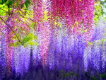 The beauty of wisteria