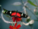 Lovely Longwing