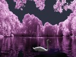 Beautiful Swan Lake