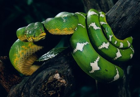 snake - animal, green, tree, snake