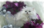 Lovely Persian Cat