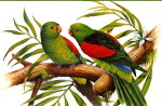 REDWINGED PARROT'S
