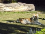 Tiger at Dream World Qld Australia