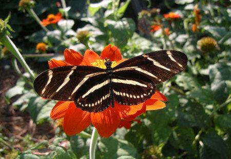 Longwing on red - red, stripes, butterfly, plants, flower, longwing, yellow and black