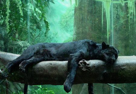Black jaguar - penther, black, jaguar, wild life