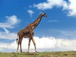 giraf walk