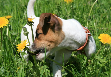 I M TAKING A BEAUTIFUL FLOWER FOR YOU - amazing, grass, happy, animal, cute, nice, cool, wallpaper, dog