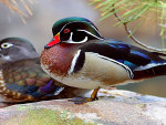 Wood Ducks, Nesting Pair