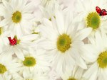 Chamomile and Ladybugs