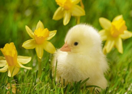 Chicken among daffodils - green, chicken, grass, daffodils, birds, yellow, nature, animal