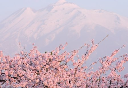 Spring Pink Cloud Flowers Nature Background Wallpapers