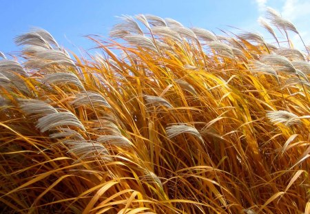 Giant cane - grass, grain, cane, corn, harvest, field
