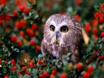 OWL in FRUIT ORCHARD