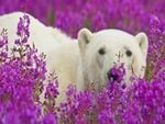 Polar Bear in Herbs