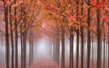 Tall trees forest - autumn, forest, tall, fog, stream, trees