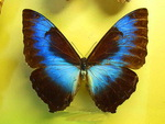 Wonderful Morpho