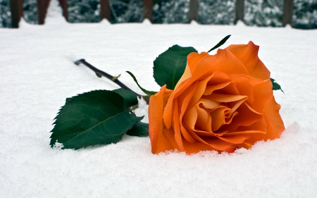 A FLOWER FOR YOU - amazing, nice, cool, flower, ice