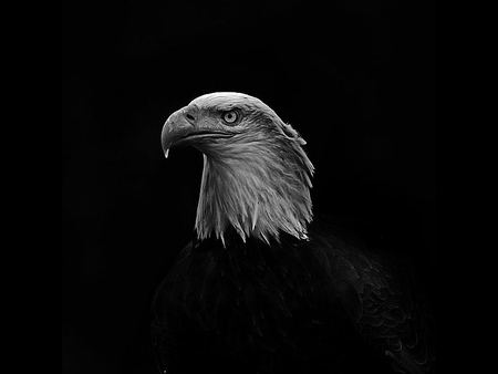 Eagle In Dark Birds Animals Background Wallpapers On