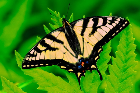 On the green - butterfly, fern, swallowtail, yellow and black